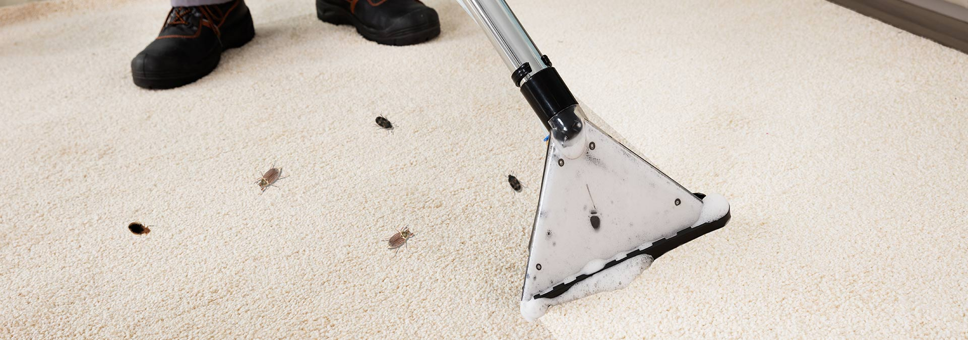 Carpet Beetle Elimination Nyc Steam Cleaning